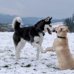 5 Laid-Back Dog Breeds for Introverts